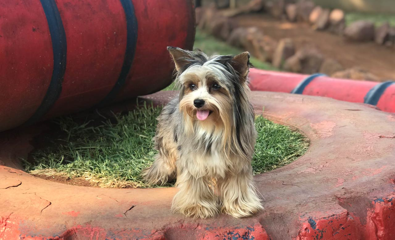 Yorkshire terrier standing on tyre